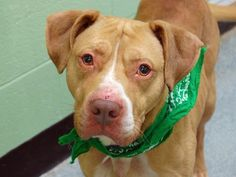 Manhattan Center URGENT  Studda. A0985827 Death  Row !!!!  ~ Daily - TOO MANY - Are Killed here DAILY!  PLEASE Adopt, or support Dogs, Cats, etc. that Land themselves in these High Kill Shelters !!