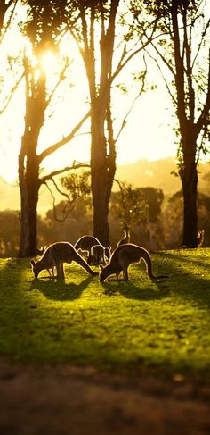 Walk amongst kangaroos in Australia