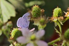 Celastrina argiolus by Csibu83