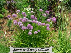 A few seasons ago we planted summer beauty allium on a whim. It quickly became the surprise allium flower of the garden attracting a bounty of butterflies. Butterfly Garden Plants, Butterfly Flowers, Monarch Butterfly, Allium Flowers, Grow Butterflies, Hummingbird Garden, Summer Beauty, Organic Gardening, Flower Gardening