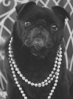 Charlotte | Pug Photography Session http://www.thepugdiary.com/charlotte-pug-photography-session/