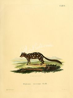 Native Cat or Eastern Quoll      ...