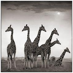 Giraffe fan