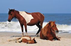 Chincoteague National Wildlife Refuge This Assateague Island refuge off Virginias coast. Chincoteague is best known for its wild ponies, descended from horses presumed to have swum ashore from Spanish galleons that sank off the coast in the and 16 All The Pretty Horses, Beautiful Horses, Animals Beautiful, Cute Animals, Chincoteague Island, Chincoteague Ponies, Shiba Inu, Wild Life, Horse Pictures
