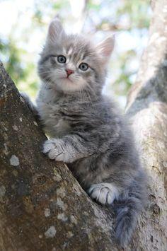 Siberian Cat | Blue and Cream Siberian Kittens