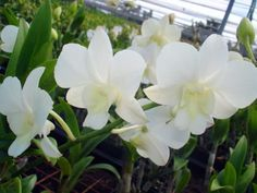 all white orchid