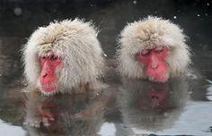 Japanese monkeys soaking in a hot spring.