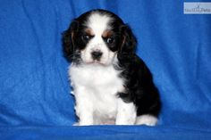 You'll love this Female Cavalier King Charles Spaniel puppy looking for a new home.