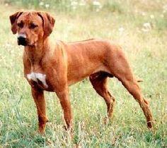 Rhodesian Ridgeback..a great beast of a dog. Yes.
