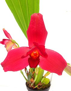 Lycaste Liberty Ruby Star Come and visit us at Berlin Orchid show from September 26th to 28th Exclusively to Orchideengarten Karge in Dahlenburg