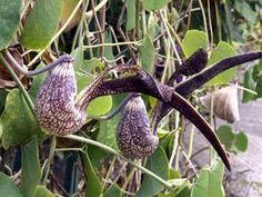 Aristoloche spatulée ou Jabot de dinde Aristolochia ringens ( liane présente en Réunion mais originaire d'amérique du sud )