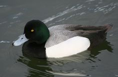 Aythya marila - Greater Scaup -- Sighted: 11/28/2014 Liberty State Park, NJ