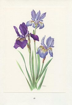 Iris Flowers, Botanical Flowers, Botanical Prints, Black Flowers, Botanical Drawings, Botanical Illustration, Iris Drawing, Iris Tattoo, Iris Painting