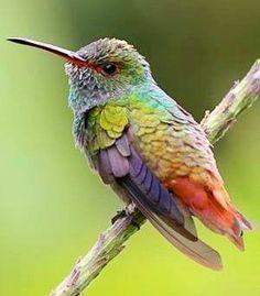 ハイバラエメラルドハチドリ Rufous-tailed Hummingbird (Amazilia tzacatl)