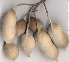 Texas mountain laurel seed pods