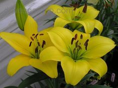 GIRONDE lilies - Beautiful, bright unspotted yellow.