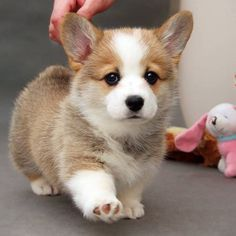 Baby Corgi, Cute Corgi Puppy, Corgi Dog, Cute Dogs And Puppies, Baby Animals Pictures, Cute Animal Photos, Funny Dogs, Funny Animals, Animals And Pets