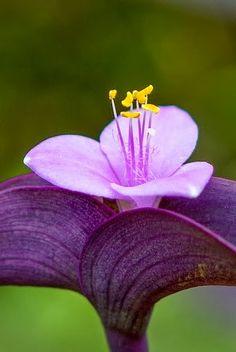 Amor de hombre óFoto de Tradescantia purpúrea, Purpurina - http://www.arkansasplantoutlet.com/   La Purpurina o Amor de hombre es una planta muy llamativa por su colorido púrpura. A finales de verano emite unas florecillas rosa-violáceo.