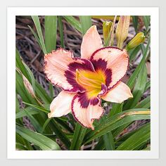 https://society6.com/product/pink-daylily-growing-in-queensland_print?curator=hereswendy