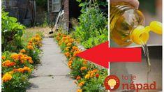 Ešte stále kvitne, nezmeškajte ju: Túto rastlinku len odtrhnite a zalejte olejom – najväčšia pomoc na kĺby a reumu! Medicinal Herbs, Health Advice, Natural Medicine, Korn, Life Is Good, Diy And Crafts, Gardening, Outdoor Decor, Ale