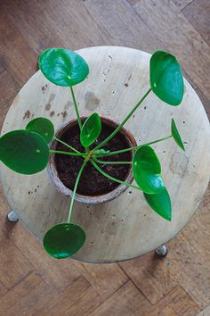 Chinese Money Plant~ I want one :)  It's green and doesn't flower...that's okay, it's got pretty leaves!