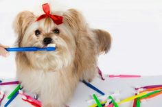 How to brush your dog's teeth. A Happy Havanese Blog