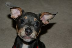 Chiweenie    Mexican hot dog by BigStupidGrin, via Flickr.  heehee