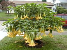 Brugmansia Seeds For Sale | ... Picture #10 of Angel Trumpet, Angel's Trumpet 'Dr. Seuss' (Brugmansia
