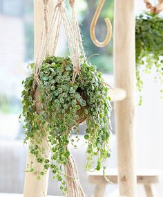 The peperomia prostrata comes from South America. Just like the other Peperomia. Indoor Cactus Plants, Cactus House Plants, Jade Plants, Hanging Plants, Potted Plants, Snake Plant Images, Peperomia Plant, Pepper Plants, Vegetable Gardening