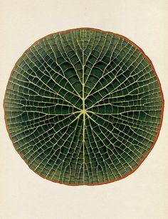 Giant Waterlily- Victoria Amazonica.