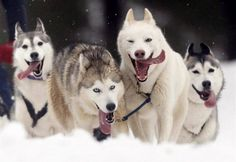 Exactly what my Huskies look like when they run. Love it