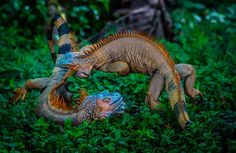 Battle of iguanas, Costa Rica - Wildlife Archives Reptiles And Amphibians, Mammals, Iguana Verde, Real Life Games, Angry Animals, Jungle Animals, Green Iguana, Photo Animaliere, Concours Photo