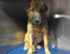 Animal ID 35559699 Species Dog Breed Chinese Shar-Pei/Mix Age 1 year 5 days Gender Female Size Medium Color Brown/Black Spayed/Neutered Site Department of Animal Services, City of El Paso Location Kennel B Intake Date 6/5/2017