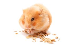 #rodent #hamster #cute #zolux