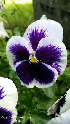 My Flower, Flowers, Pansies, All Pictures, Lotus, Om, Plants, Lotus Flower, Plant