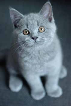 Little ball of Grey fur. So Cute and beauty. LOVE Cats  SLVH ♥♥♥