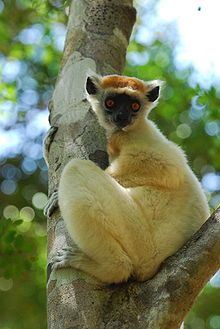The golden-crowned sifaka, or Tattersall's sifaka, (Propithecus tattersalli) is a medium-sized lemur characterized by mostly white fur, prominent furry ears and a golden-orange crown.