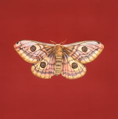 Our artwork advent today is 'Giant Emperor Moth', watercolour and gouache on Fabriano Artistico, 20 x x by Jennifer Hooper Emperor Moth, Gouache, New Art, Advent, Watercolour, Insects, Artwork, Artists, Watercolor