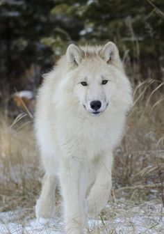 "Let us answer the question ""what do arctic wolves eat?"" and discuss some interesting facts about this rare wolf species diet. Arktischer Wolf, Wolf Pup, Wolf Love, She Wolf, Wolf Images, Wolf Pictures, Animal Pictures, Amazing Animals, Animals Beautiful"