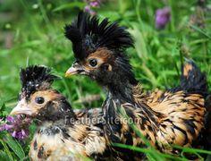 Pavlovskaja Chicken.