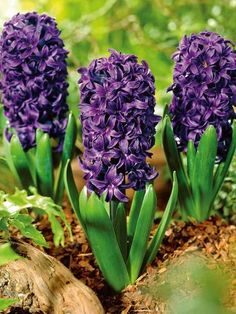 20 Sensational Spring blooming bulbs to plant this Fall to Welcome Spring. The Spring flowering bulbs can add curb appeal to your home. Hyacinth Flowers, Bulb Flowers, Spring Flowering Bulbs, Spring Bulbs, Beautiful Gardens, Beautiful Flowers, Garden Bulbs, Garden Yard Ideas, Fall Plants