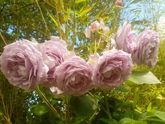 Fotografie - Google Foto Photo And Video, Rose, Google, Flowers, Plants, Pink, Plant, Roses, Royal Icing Flowers