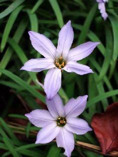 L'ipheion uniflorum : une jolie #fleur en hiver : L'ipheion uniflorum fait partie des premières fleurs de l'année. Avec ses jolies étoiles de couleur mauve pâle à violet, cette plante bulbeuse met de la gaieté au jardin dès le mois de février, voire plus tôt sous les climats doux.