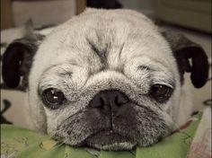 Sweet lil senior pug face.