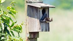 Nests of all kinds can be vulnerable to attacks from predators, such as Blue Jays, crows, grackles, and many other species of birds, mammals, and reptiles. If the nest is located in a natural position, such as in a tree, there is usually very little that can be done to protect the nest. In some