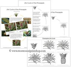Pineapple Life Cycle Cards and Charts - Pineapple Life Cycle Nomenclature Cards, Charts & Black-Line Masters.