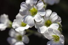 valkoiset kesäkukat, the white summer flowers