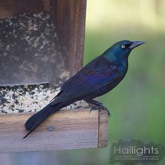 Uncommonly Common... The Common Grackle, Black is Colorful!