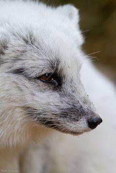 arctic fox by Mark Dumont