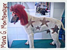 Caniche gigante. Extrem grooming